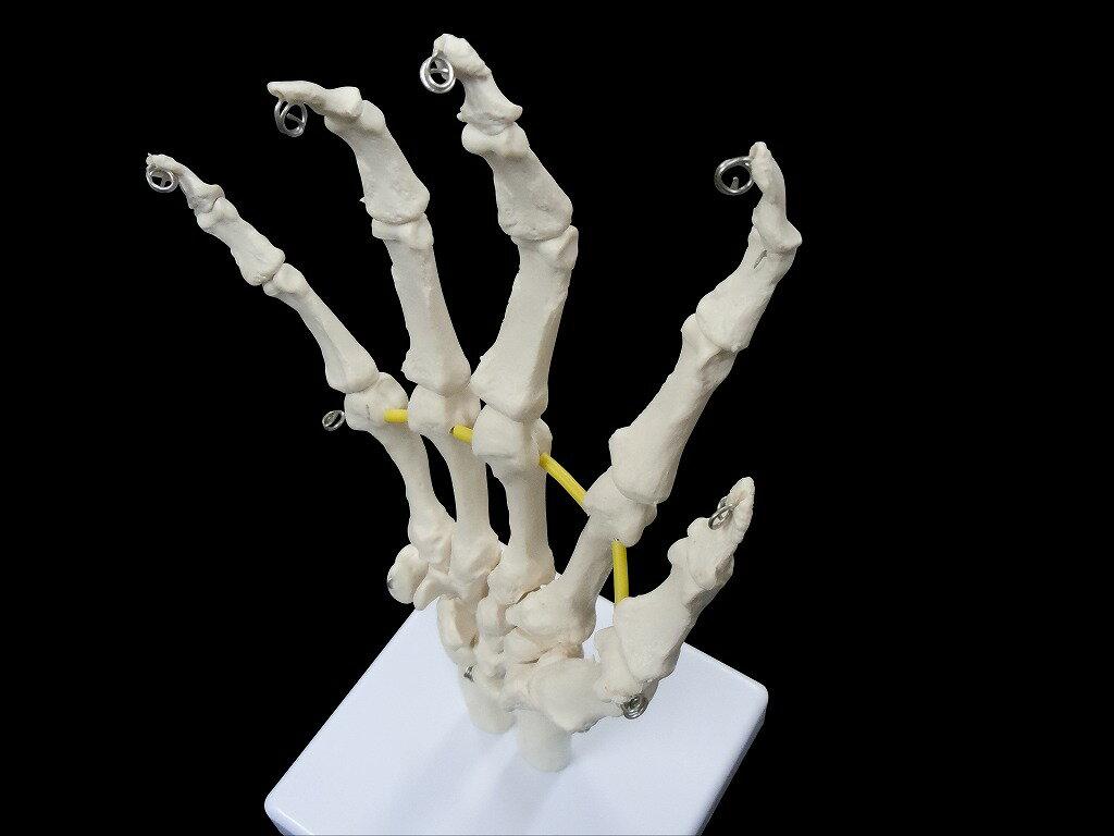 【送料無料】 人体模型 骨 手 指 実物大模型の商品画像
