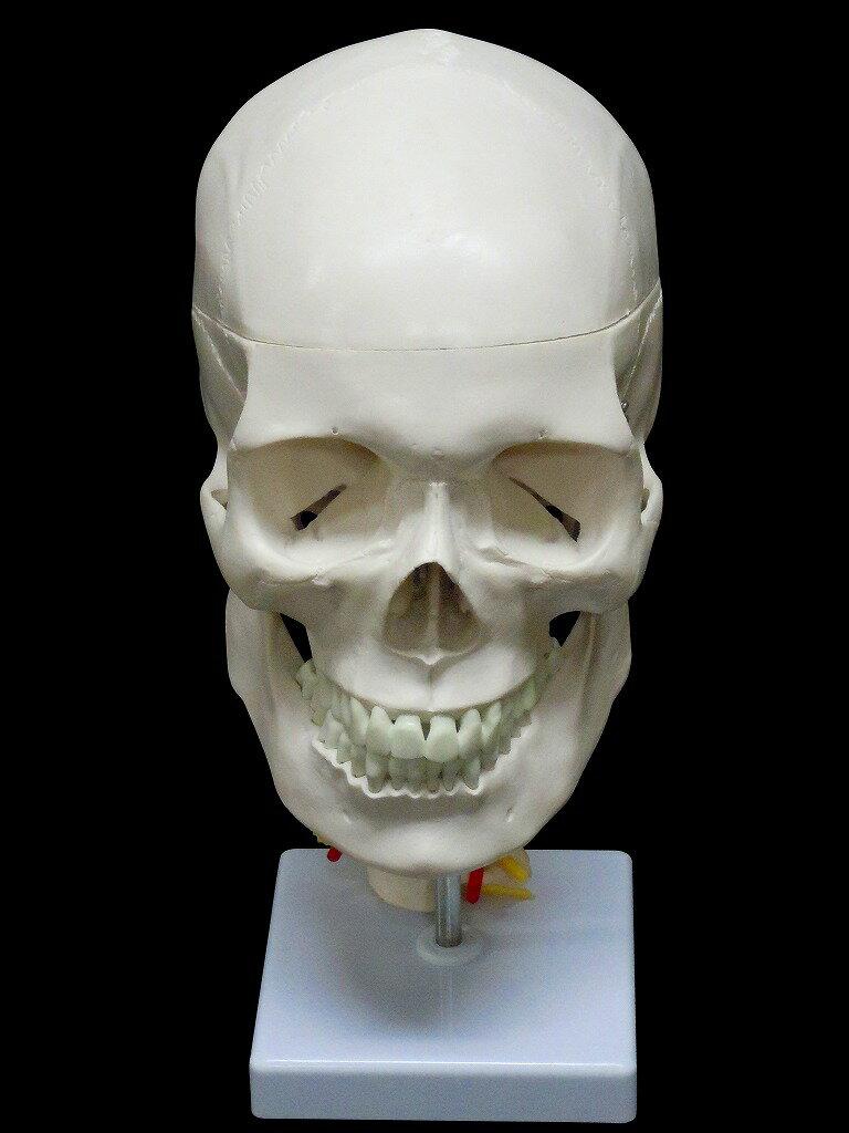 【送料無料】人体模型 頭蓋骨 実物大 精密模型 ...の商品画像