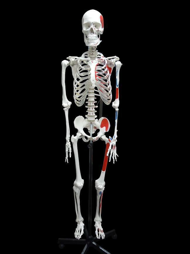 【送料無料】人体模型 骨格模型 骨格 全身 精密...の商品画像