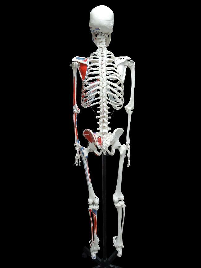 【送料無料】人体模型 骨格模型 骨格 全身 精...の紹介画像3