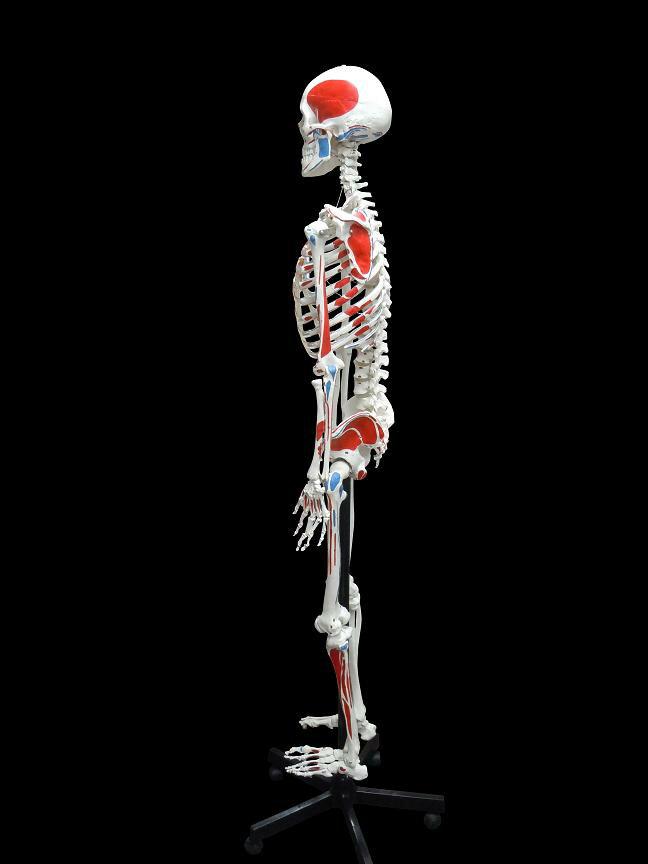 【送料無料】人体模型 骨格模型 骨格 全身 精...の紹介画像2