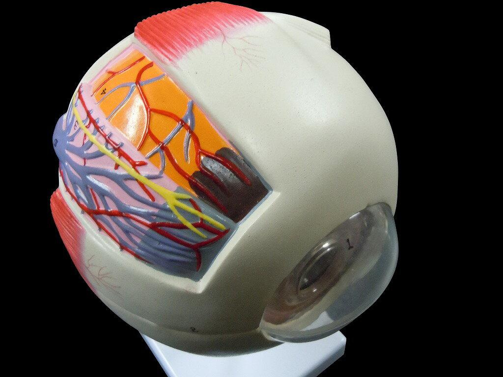 【送料無料】人体模型 眼球 6倍拡大模型