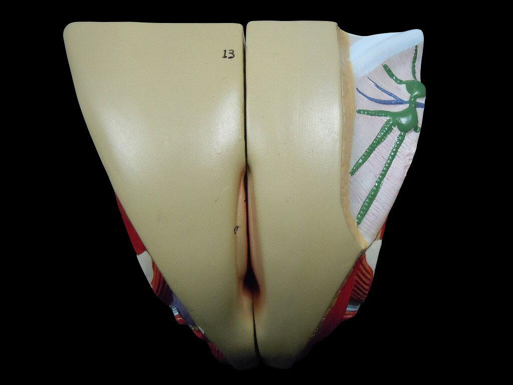 【送料無料】人体模型 女性生殖器 泌尿器模型 実物大の紹介画像3