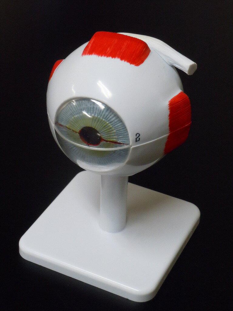 【送料無料】 人体模型 眼球 3倍拡大模型