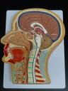 【送料無料】人体模型 頭部 鼻 口 頚部 正中断面模型 等身大