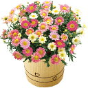 《母の日ギフト》《送料無料》マーガレット鉢植えいちごみるく代引き不可