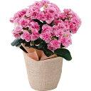 《母の日ギフト》《送料無料》色移りアジサイ鉢植えフェアリーアイピンク代引き不可