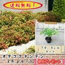 【送料無料】【肥料プレゼント】オタフクナンテン(お多福南天)10.5cmp 24pセット/苗