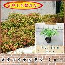 オタフクナンテン(お多福南天)10.5cmp 1p〜♪/苗