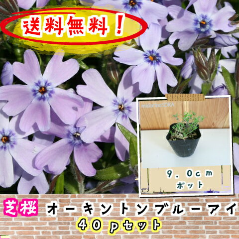 【送料無料!】【肥料プレゼント】芝桜(シバザクラ・しばざくら) 紫花 オーキントンブルーアイ40pセット/苗