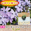 芝桜(シバザクラ・しばざくら)紫花 オーキントンブルーアイ1p〜/苗