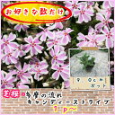 芝桜(シバザクラ・しばざくら)多摩の流れ キャンディストライプ1p〜♪/苗