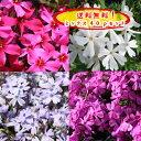 楽天緑の空(SORA)【送料無料!】【とってもお得!】芝桜(シバザクラ)貴重な紫花10pが入った選べる40pミックスセットオーキントンブルーアイ(紫)10p+(他10p×3種類)