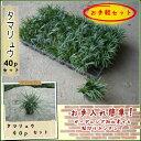 【肥料プレゼント!】【まずはお試し!】タマリュウ(玉竜)40pセット/苗