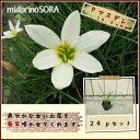 【肥料プレゼント!】タマスダレ10.5cmp24pセット/苗