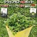 【レビュー特典あり】 クラピア K7 9cmポット苗 40鉢セット 完全植栽マニュアル付き 新品種 白色 雑草対策 グランド…
