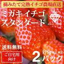 イチゴ ミガキイチゴ スタンダード 2パック(いちご 275g以上×2)【送料無料】【ご自宅向け ご家庭向け 大容量】