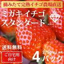 イチゴ ミガキイチゴ スタンダード 4パック(いちご 275g以上×4)【送料無料】【ご自宅向け ご家庭向け 大容量】 ランキングお取り寄せ