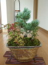 ギフト 盆栽【送料無料】【五葉松】 【長寿梅】【もみじ】【寄せ植え】贈り物にもおすすめの 寄せ植え盆栽です
