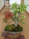 盆栽【送料無料】【もみじ】 【姫りんご】【寄せ植え】【ギフト】