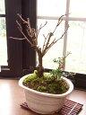 盆栽:御殿場桜 長寿梅の寄せ植え  :【送料無料●大阪2】