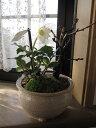 ショッピングクリスマスローズ 2020年クリスマスローズ開花【幸せの白い花】 【幸せギフト】盆栽_桜と クリスマスローズの寄せ植え お届けは花芽確認のクリスマスローズのお届けとなります。