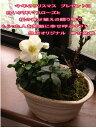 2017年冬のプレゼントに盆栽:桜と クリスマスローズの寄せ植え冬の贈り物ギフト 【送料無料】【