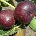 【庭木】 【果樹】【いちじく】 イチジク ヨルダンイチジク苗  一年性接ぎ木