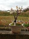 白梅盆栽 梅盆栽お祝い梅盆栽ミニ梅盆栽