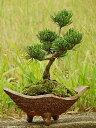 【盆栽】五葉松盆栽 信楽鉢入 楽しみをプレゼントに 誕生日ギフトにも  姿を楽しむ◎お中元に