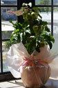 母の日ギフト2018年5月実付き鉢植りんご【家で手頃に果樹栽培りんご】【長寿りんご】10月?12月頃