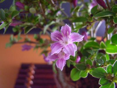 紫丁花【山野草】 ミニ ポット