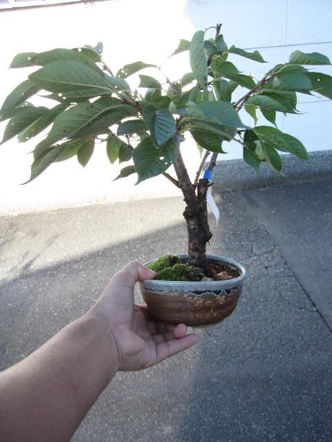 八重桜 【桜盆栽】 八重咲桜 鉢植え 2017年...の商品画像
