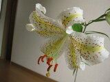 日本,七月的夏天?百合国王在八月开花。山百合幼苗[【ポット苗】 開花終了苗]