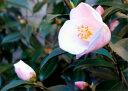 ツバキ苗 蕾があります。2017年開花苗 【庭木】 【ツバキ】椿 春風春風のような優しい香りがする椿