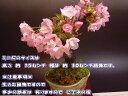 【桜盆栽】ミニ盆栽桜桜のお花見二人でお花見セット 2017年花芽付の桜盆栽となります。。