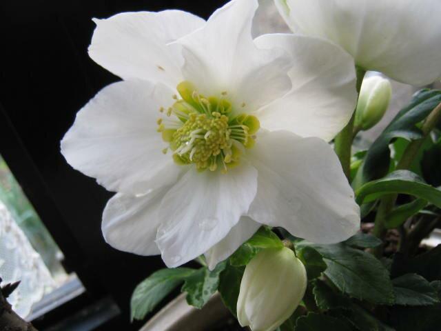 【冬の贈り物】 【幸せギフト】盆栽:桜と クリスマスローズの寄せ植え
