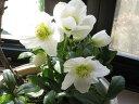 桜盆栽【冬の贈り物】 【幸せギフト】盆栽:桜と クリスマスローズの寄せ植え