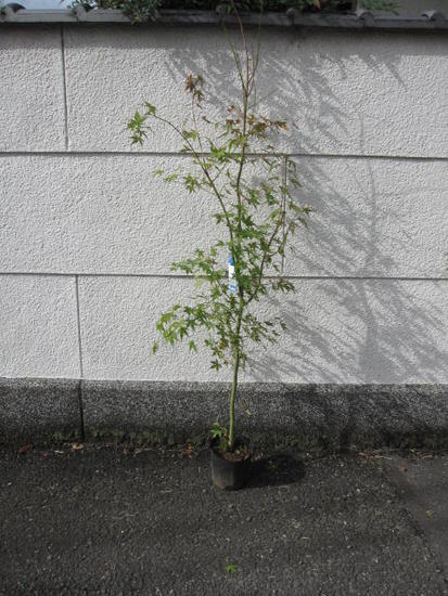 紅葉といえばイロハモミジ苗もみじ もみじ 【もみじ苗】 【庭木】【紅葉】 高さ 約1.5M