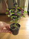 ムラサキシキブ(紫式部) 秋には紫の 仁丹サイズの 実がなります。