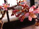 桜盆栽【ミニ盆栽桜】  サクラ盆栽で自宅でお花見】【おかめ桜盆栽】は一重のピンクのサクラです 2017年花芽付の桜盆栽となります。