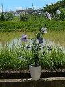 ムクゲ木槿鉢植え2020年7月開花ムクゲブルーバード