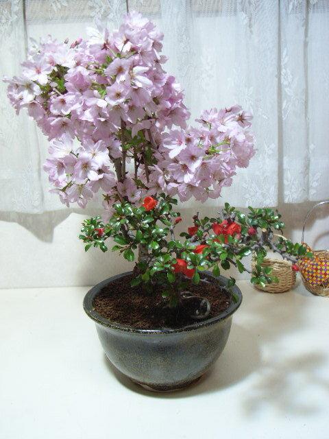 さくら盆栽お祝いサクラ【御殿場桜盆栽】と【長寿梅】の【桜盆栽】お届けは葉桜盆栽となります。【送料無料】【楽ギフ_包装】【楽ギフ_包装選択】【楽ギフ_メッセ】【楽ギフ_メッセ入力】 桜の開花は2016年月4月初旬に咲きます