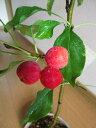 クランベリー盆栽
