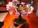 2021年開花4月に桜盆栽桜 旭山桜盆栽 ミニ盆栽のサクラでもちゃんとお花見が楽しめます。