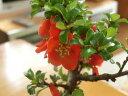 【長寿梅】【ミニ盆栽】    【 贈り物に最適