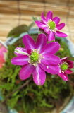 宿根草雪割草  雪割り草  赤花一重咲き 実生