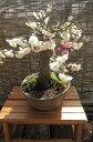 新春梅盆栽2019年2月頃開花 【思いのまま梅盆栽】信楽焼き入り思いのまま梅は咲き分ける梅の花が楽しめます。