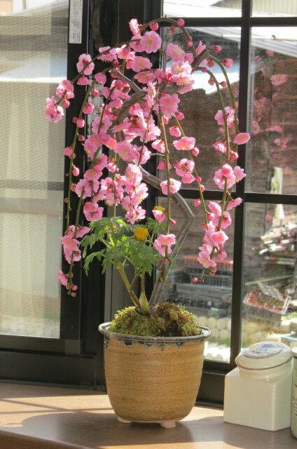 【しだれ梅】梅盆栽 ピンク色の八重しだれ梅梅の花盆栽鉢は信楽焼2019年3月に開花