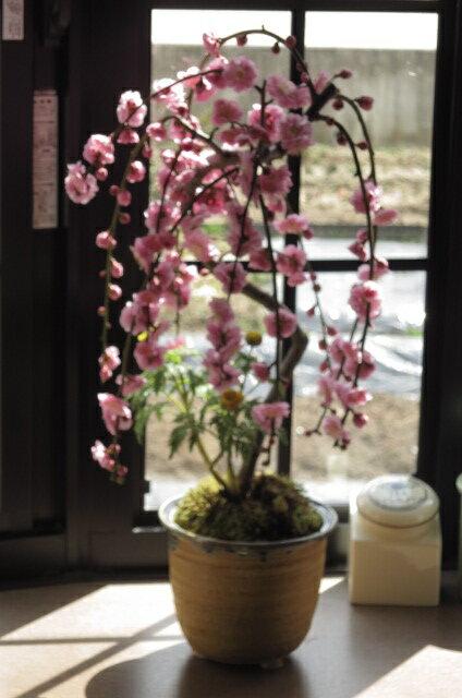 2019年3月頃にに香りと お花が楽しめる 八重しだれ梅盆栽 【しだれ梅】 ピンク色の八重梅の花 盆栽鉢は 信楽焼